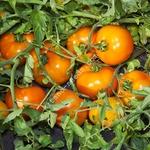 Семена оранжевого низкорослого томата АЙСАН F1,  KITANO SEEDS