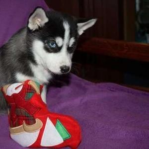 Красивый щенок сибирской хаски