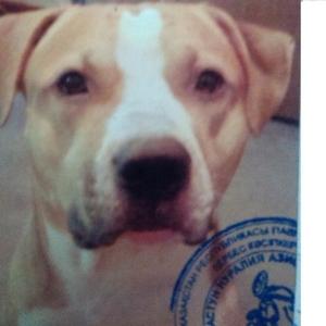 пропала собака, кобель,  Стаффордширский бультерьер, 2 года,  помогите!!!!