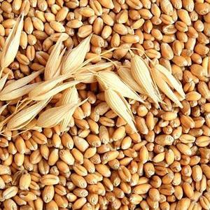Куплю пшеницу продовольственную