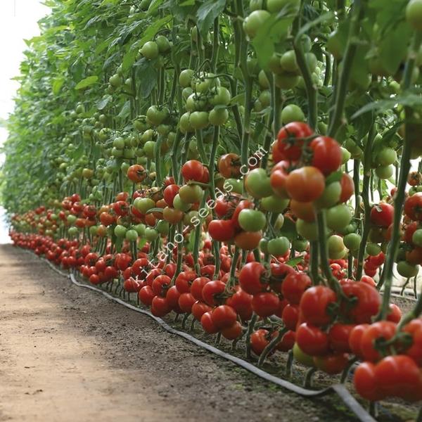 Семена красного индетерминантного томата KS 301 F1,  KITANO SEEDS 3