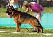 Предлагаются на продажу щенки немецкой овчарки.